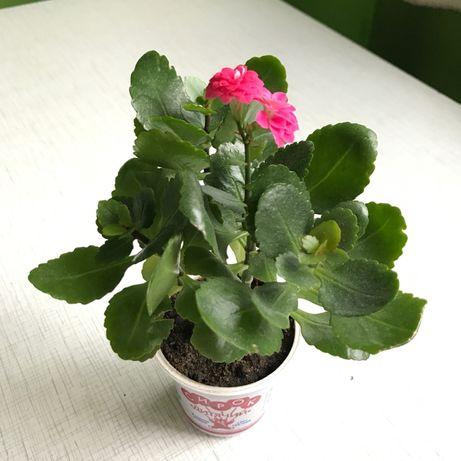 Молодой цветущий каланхоэ - декоративное комнатное растение