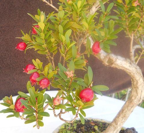 Cerejeira Anã
