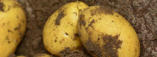 Ziemniak sadzeniak DENAR kwalifikat 2021