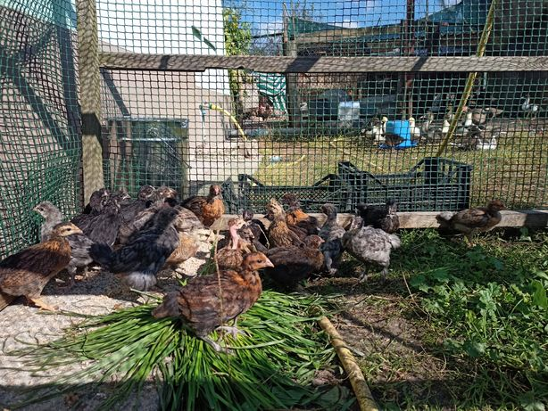 Цыплята подрощеные 1,5месяца домашних мясо-яичных кур