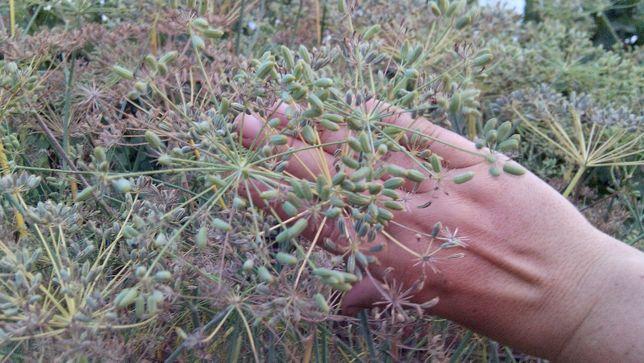 Фенхель обыкновенный, адаптированный, семена 50 грамм.