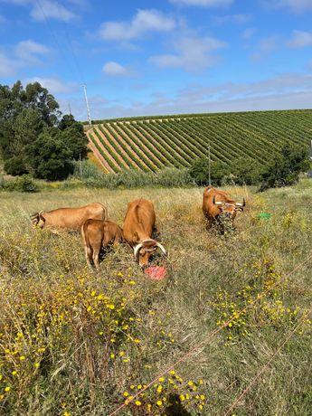 Vacas Arouquesas.