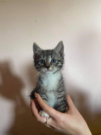 MIŁOSZ kotek do adopcji /BARLINEK