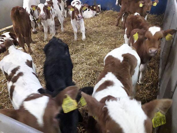Cielęta do hodowli, Mięsne, HO,NCB, Byczki, Jałówki, odsadki ,opasy