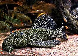glonojad Pseudacanthicus leopardus L 114 Grudziądz Grudziądz - image 1