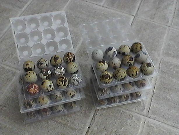 Ovos codornizes Japònica Jumbo e Italianas jumbo ( douradas )
