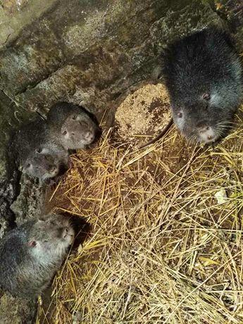 В наявності є дві сім'ї по три самочки,також є самці різного віку.