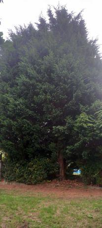 vendo 2 pinheiros altos barato para lenha.