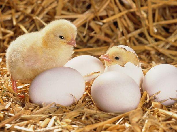 Цыплята бройлер кобб-500, мясо-яичные породы, комбикорма.