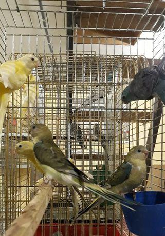 Певчие попугаи в наличии