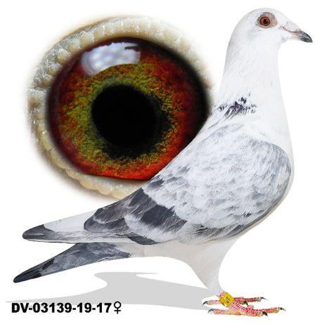 Młode 2021 para 32 Drapa x Pałka x Rottmann gołąb gołębie pocztowe