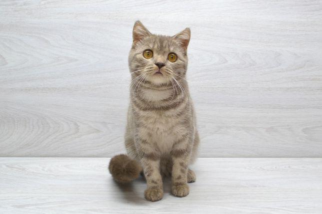 Мрамoрная шотландская кошечка. Котята шотландские