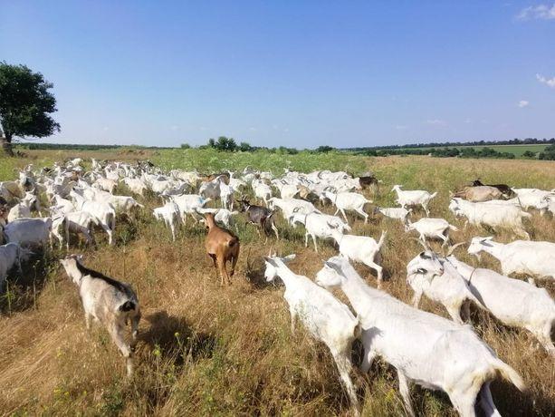 Стадо коз козы ферма