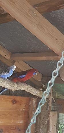 Kolorowa nimfa i falista papuga
