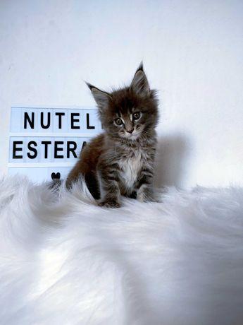 Nutella piękna niebieska kotka