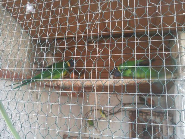 Papugi Bernard Czarnoglowy
