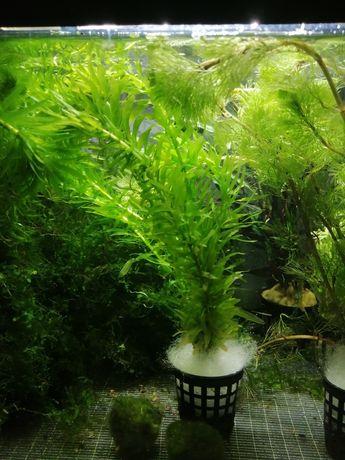Moczarka Argentyńska roślina do akwarium krewetkarium