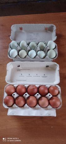 Jaja lęgowe araukana, marans