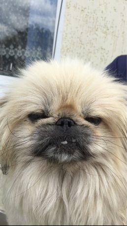 Продам собак пекінеса