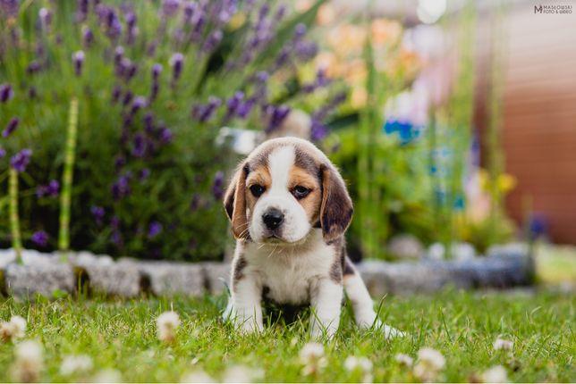 Beagle FCI ZKwP rasowy pies