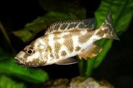 Pyszczak nimbochromis livingstonii -3cm torun