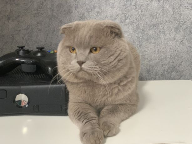 Шотландський висловухий котик на в'язку