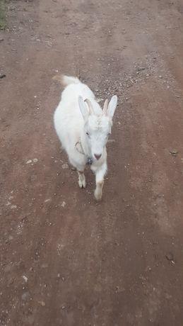 Белоя коза рогатая