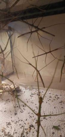 Patyczaki owady młode