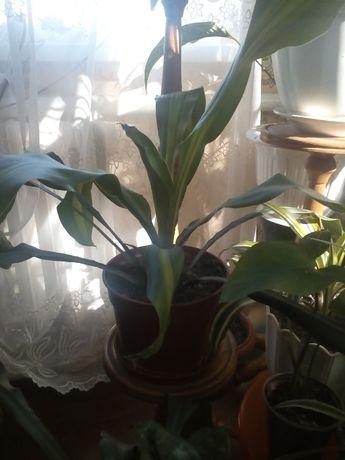 пальма вазон Юкка