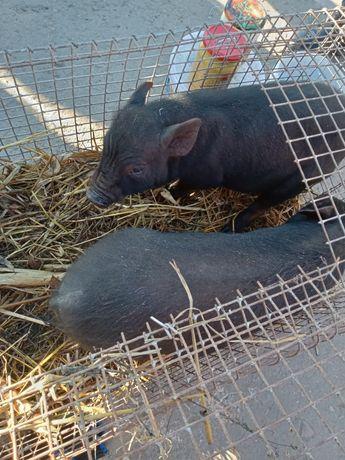 Свині в'єтнамські