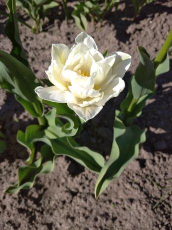 Тюльпани махрові різні кольори