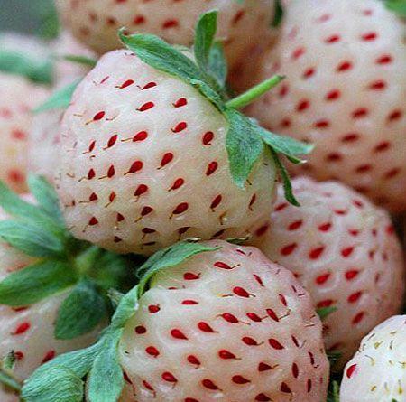 FRUTA RARA - Morangos Brancos do Japão - DELICIOSOS Planta De coleção