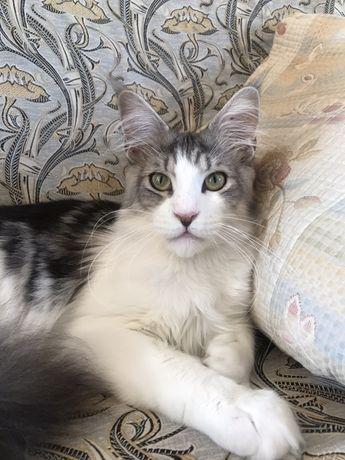 Молодой кот мейн-кун