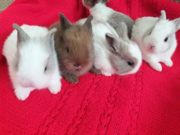 декоративні кролики левоголові та гладкошерстні