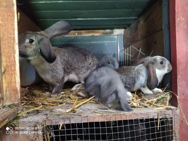 Matka królicza 1 roczna + trzy młode miesięczne