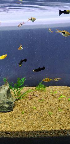 Molinezje rybki młode