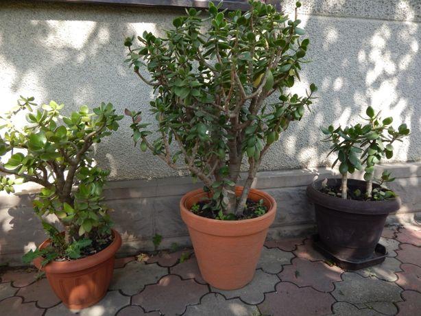 Денежное дереве, толстянка, крассула