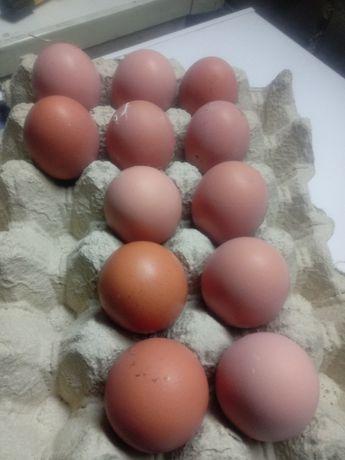 Jaja lęgowe kur marans