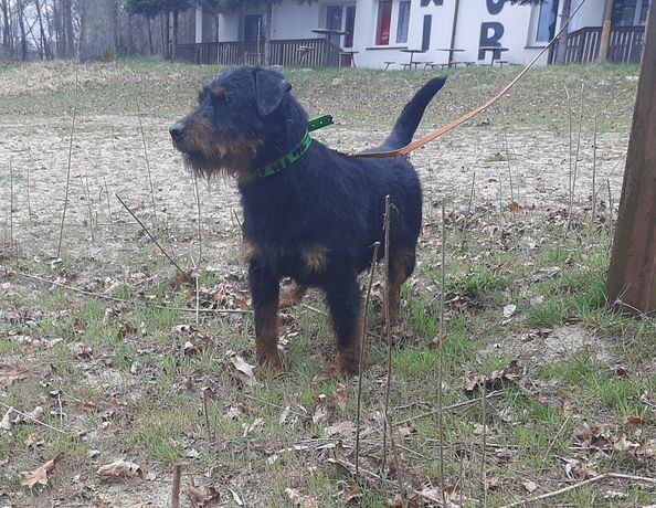 Terier niemiecki pies