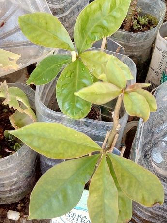 Ora-pro-nobis, trepadeira, planta medicinal