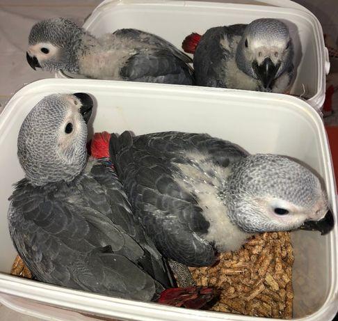 Papagaio Cinzento de Cauda Vermelha