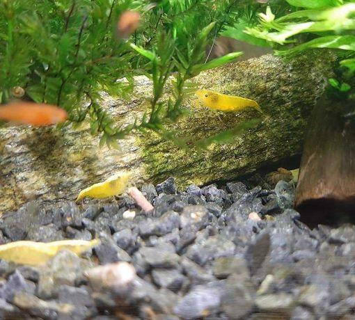 Krewetki zolte yellow