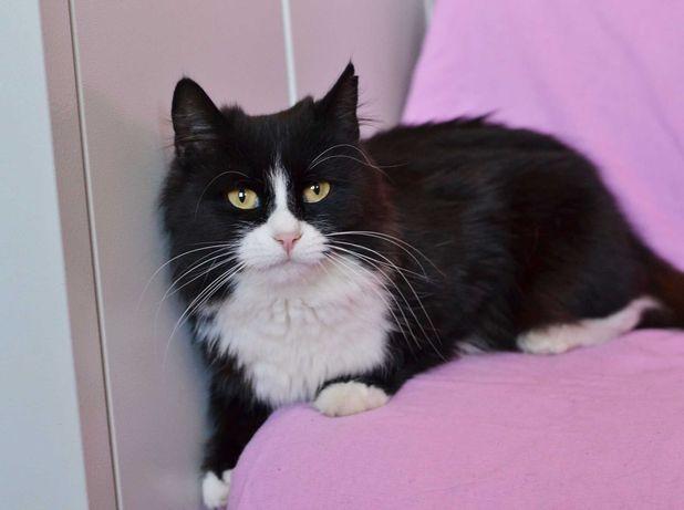 Черно-белая кошка Франческа ждет своего человека, ручная кошечка 1 год