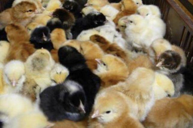 Курчата різної породи ,є домашні кури .півні дорослі,