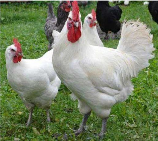 Яйцо кур для инкубации Геркулес Белый, Ухейилюй, Бресс Гальская