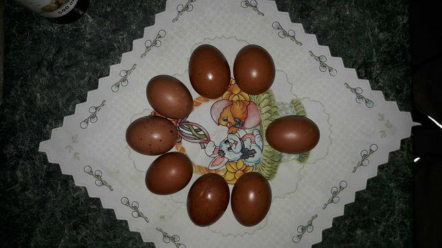 Marans jaja lęgowe