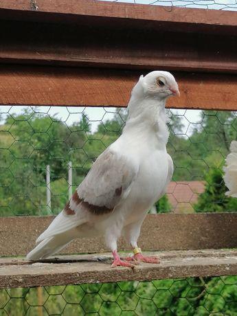 Gołębie mewki gołębie ozdobne rasowe