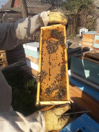 Продам бджолопакети на 145 рамку