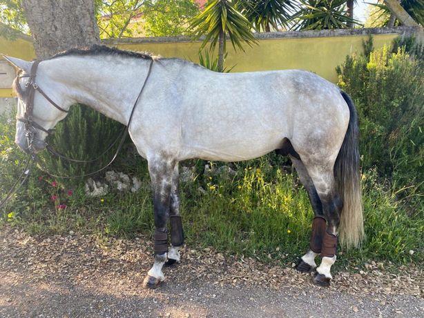 Cavalo lusitano puro