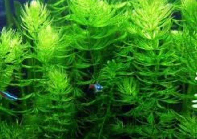 Rogatek roślina akwariowa